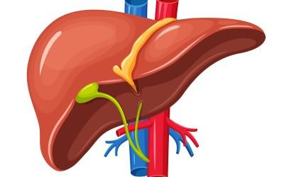 وظيفة الكبد للهضم