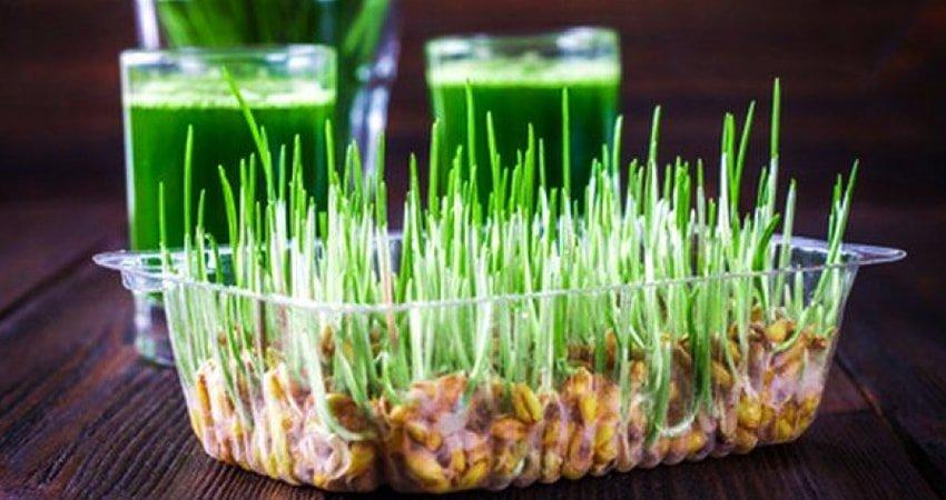 فوائد عشبة القمح