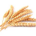 فوائد القمح المبرعم