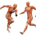 العضلات في جسم الانسان